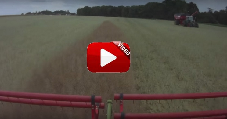 Esto es lo que encuentran estos agricultores al cosechar un campo de colza