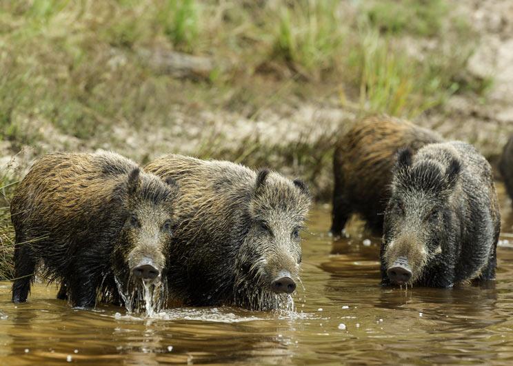 Un nuevo decreto obligará a cazar jabalíes y sancionará a los cotos que no lo cumplan