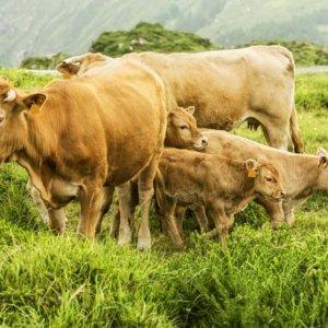 La UE estudia poner un impuesto a los pedos de las vacas