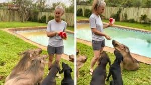 Insólito: ordena sentarse a estos jabalíes para darles de comer como si fueran sus perros (¡y le obedecen!)