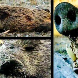 Cazan una jabalina extraordinariamente rara en Almería: con colmillos de 22 centímetros y 120 kilos