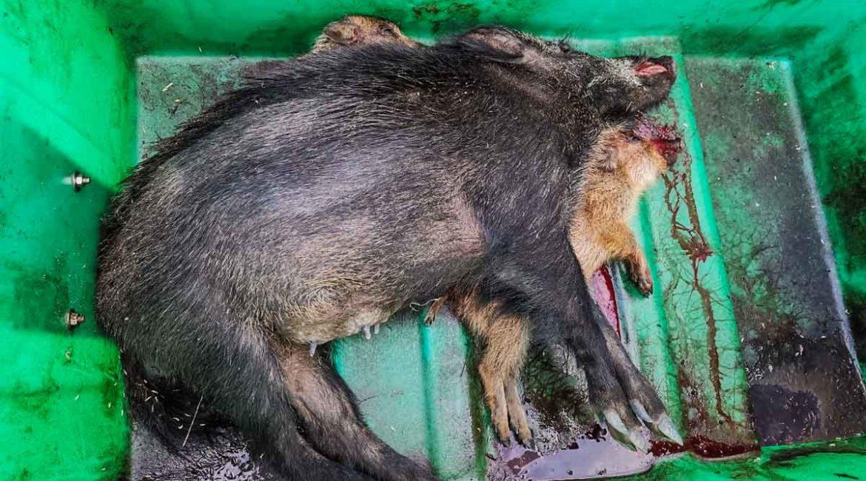 La Generalitat sigue matando crías de jabalí y tirando sus cuerpos a contenedores