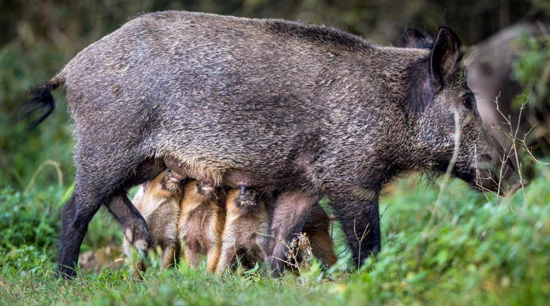 Un estudio tumba la gran tesis animalista para controlar poblaciones: esterilizar hembras es ineficaz