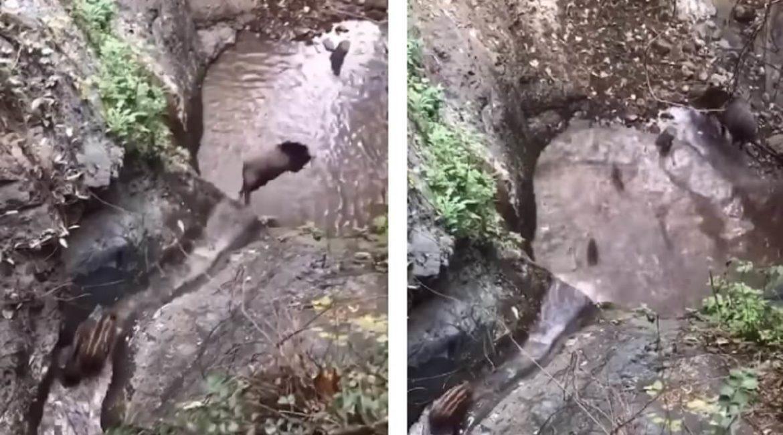 Graban a una familia de jabalíes tirándose por un tobogán natural de agua