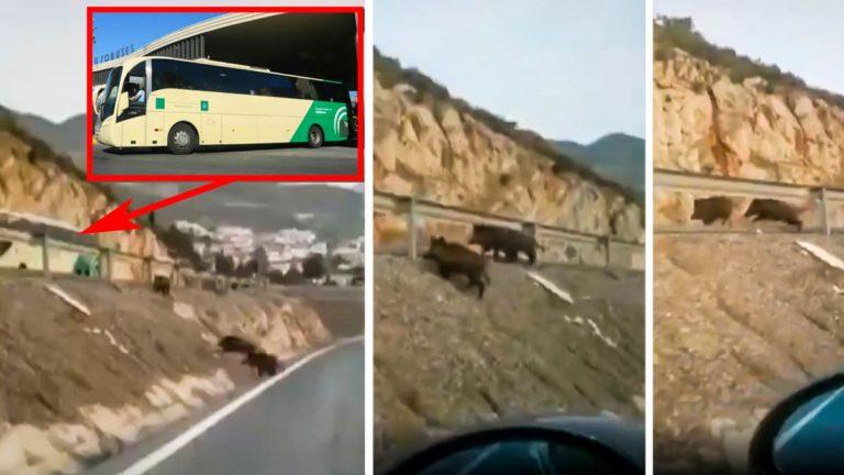Capturas del vídeo en el que cuatro jabalíes están a punto de provocar un accidente con un autobús en Andalucía.