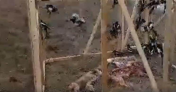 Ponen los restos de varios zorros en esta jaula y cuando la revisan se llevan una sorpresa