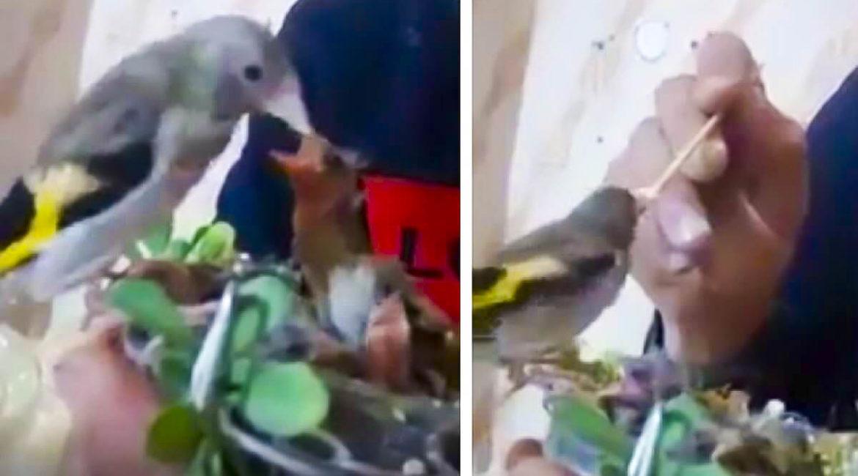 El vídeo de un jilguero alimentando a sus pollos enamora a los cazadores