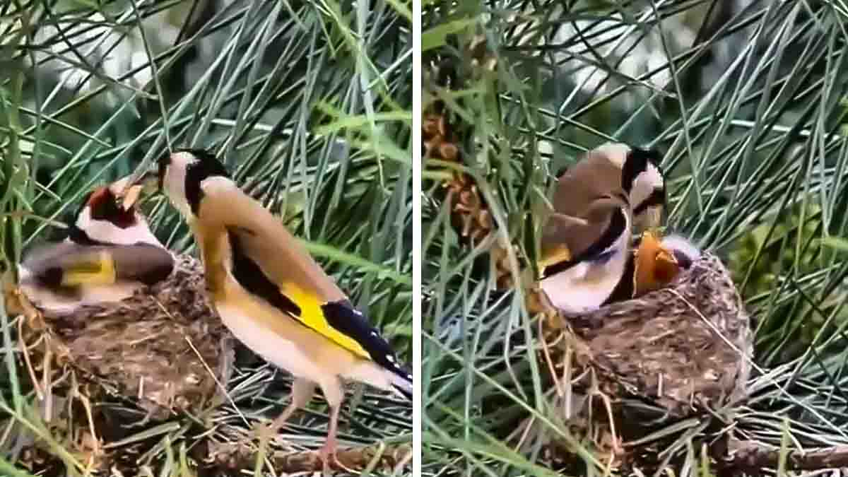 Precioso vídeo de un jilguero macho alimentando a la hembra mientras cuida del nido
