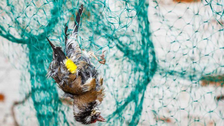 Un jilguero muerto en una red. /Shutterstock