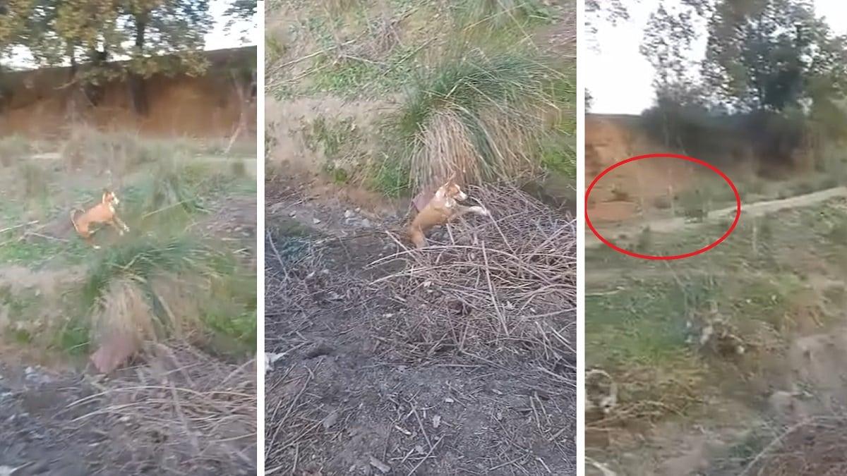 Un conejo se la intenta jugar a un podenco… pero mira qué hace el perro