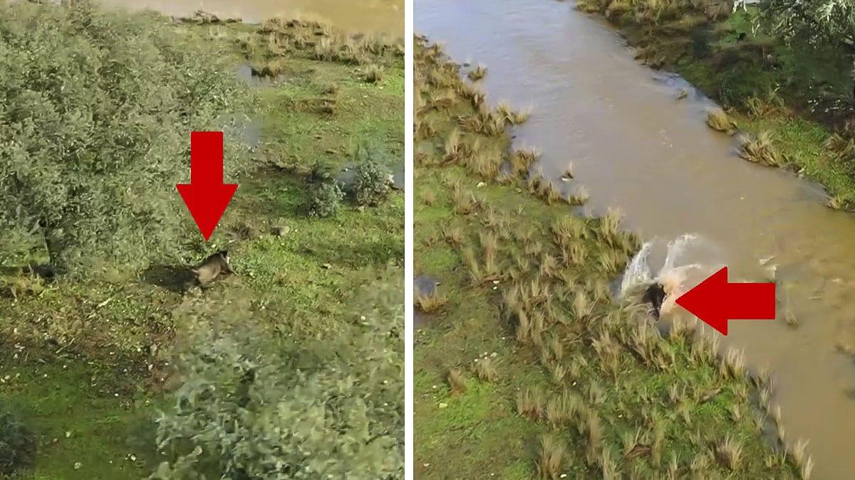 Un dron graba un lance completo con un gran jabalí en una montería