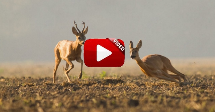 Estos son los tres mejores lances de caza de corzos que jamás hayas visto