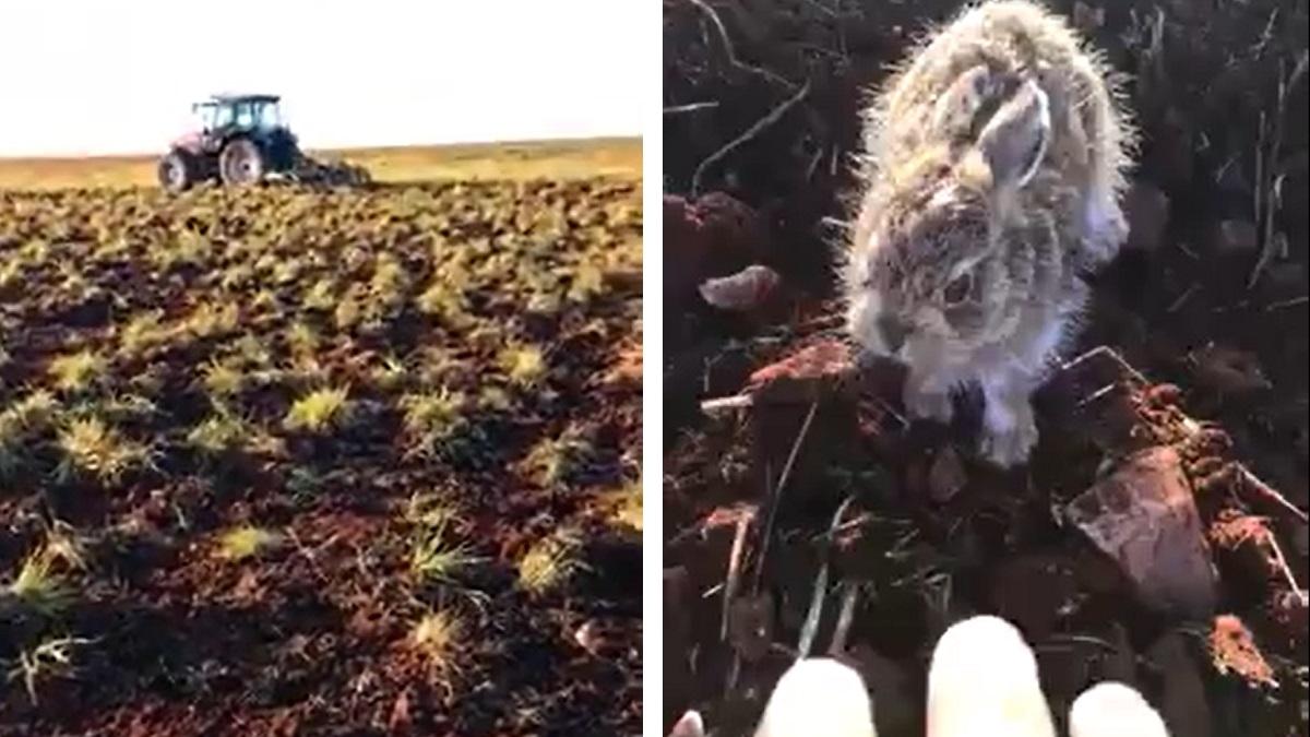 Un agricultor graba a un valiente lebrato que le ataca en varias ocasiones