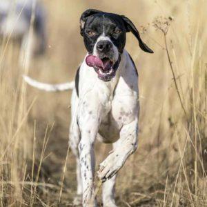 ¿Tu perro de caza tiene leishmaniosis? Esto es todo lo que debes saber sobre su tratamiento
