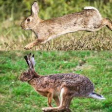 Madrid: Conejos y liebres sirven de reservorio del mayor brote de leishmaniosis humana de Europa
