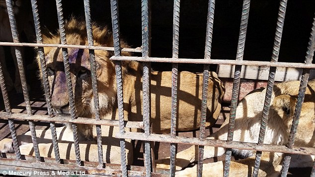 leon herido 2