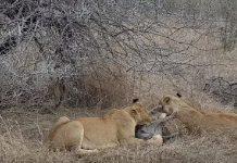 leonas devoran un jabali