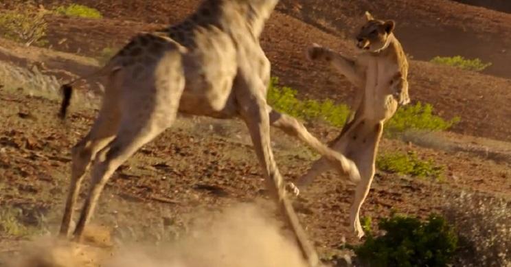 Una manada de leonas persiguen a una jirafa, lo que verás al final lo convierte en viral