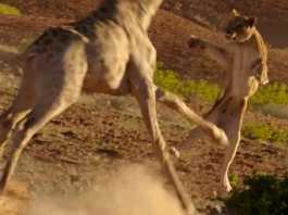 leonas persiguen jirafa.