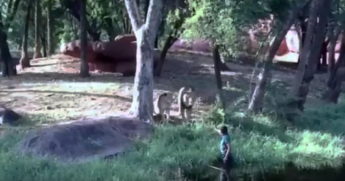Un borracho se mete en una jaula de leones para darles la mano