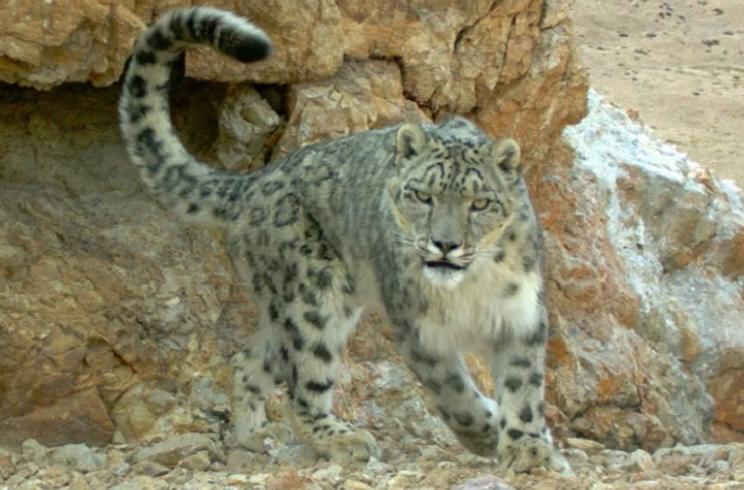 Los cazadores salvan de la extinción al leopardo de las nieves