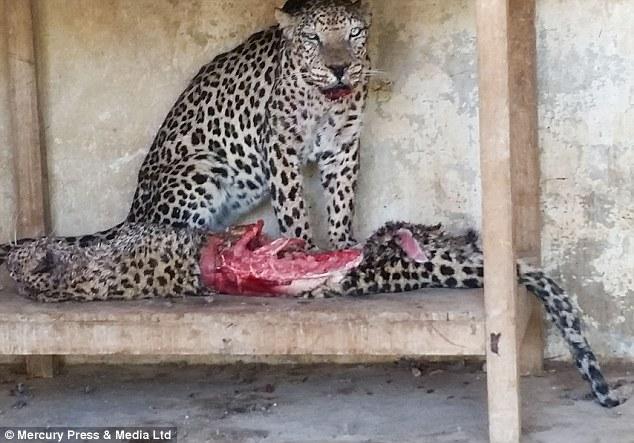 Este macho de leopardo se alimenta de la hembra que le acompañaba.