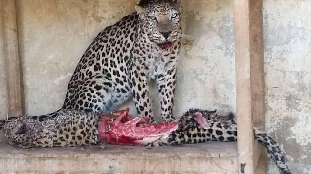 Los animales de un zoo de Yemen se pasan al canibalismo para sobrevivir