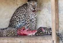leopardo se come a su hembra