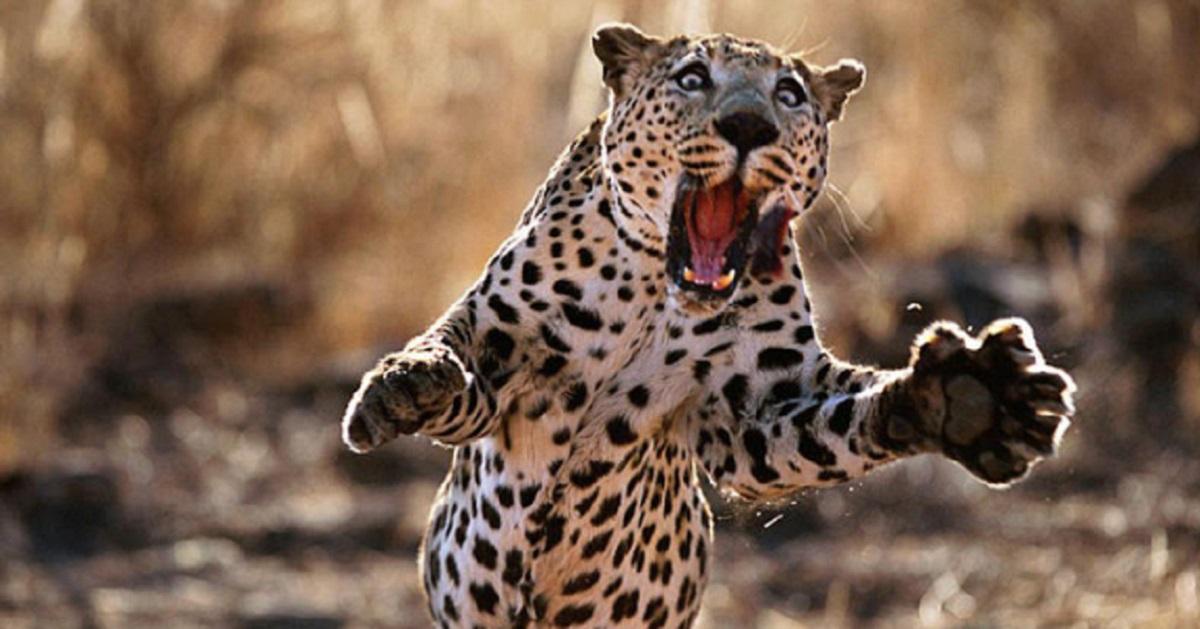 Los tres ataques de leopardo más impactantes que jamás hayas visto