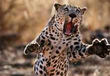 leopardos ataques