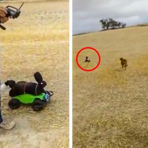 La carrera de estos galgos tras una 'liebre' teledirigida arranca las risas de los cazadores