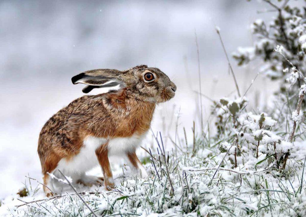 Liebre en la nieve. ©JDG