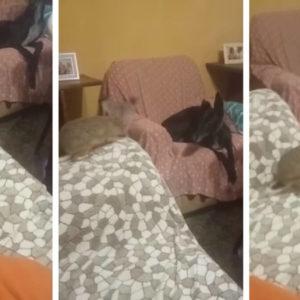 Graba cómo una liebre y un galgo juegan en el sofá de su casa
