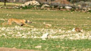 ¿Por qué son más rápidas las liebres del centro-norte que las del sur de España?