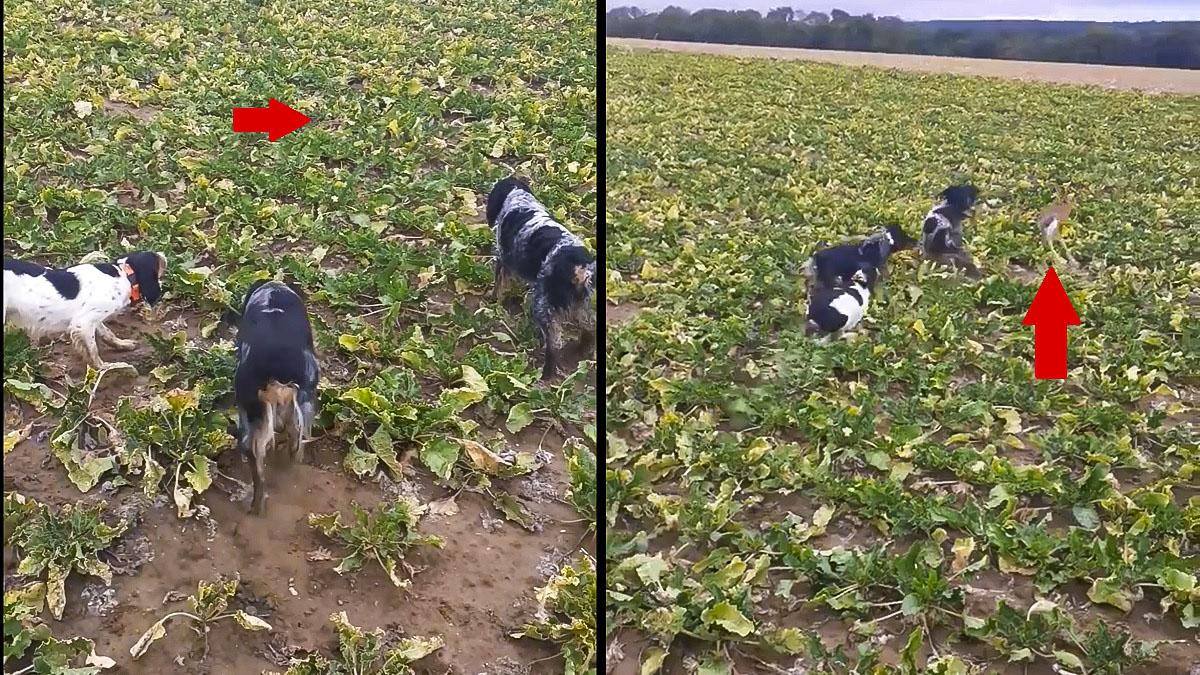 Una liebre escapa de tres perros de caza con este increíble salto