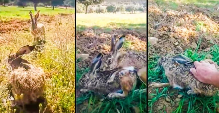 Capturas del sorprendente vídeo de la liebre capturada con la mano. @YouTube