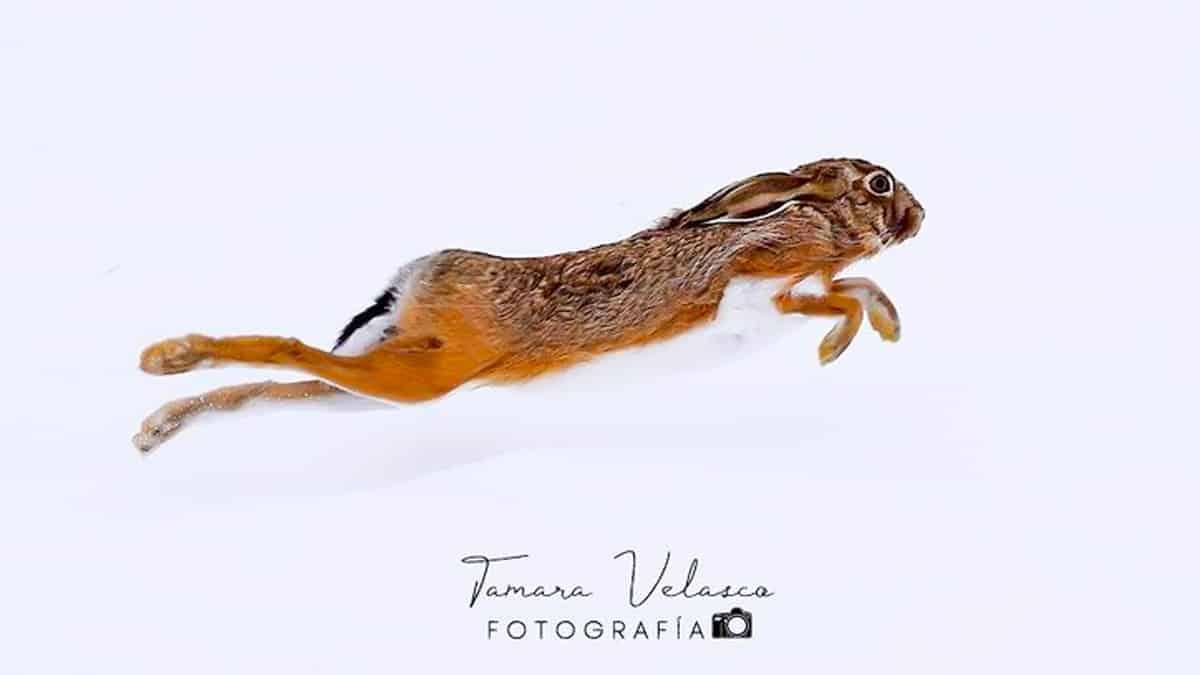 Esta joven hace la foto de su vida a una liebre corriendo en la nieve