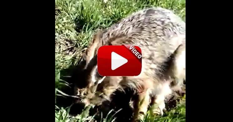 Un cazador localiza una liebre en un sembrado y cuando se acerca no huye