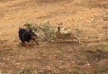 liebre planta cara a un perro