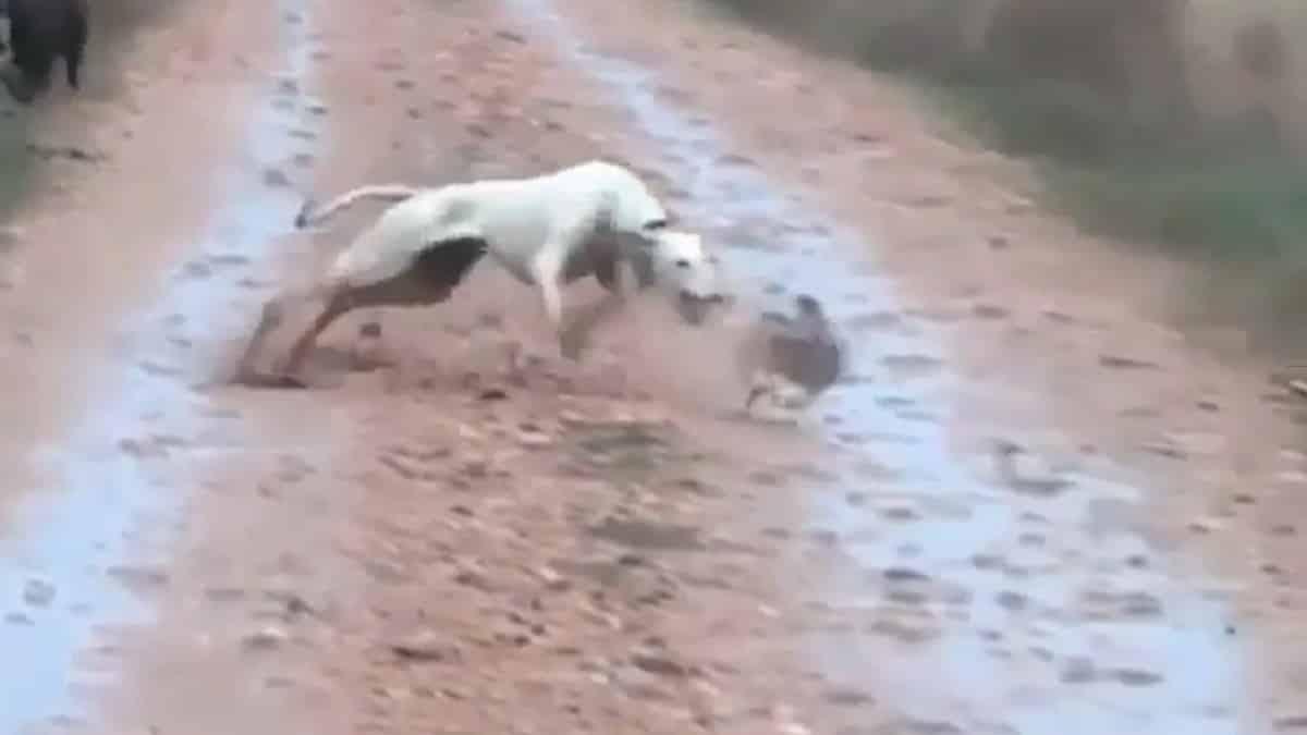 Una liebre engaña a dos galgos en un camino con esta increíble 'jugada'