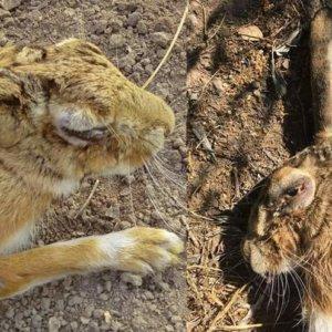 Alerta ante una nueva enfermedad que está matando las liebres en Andalucía