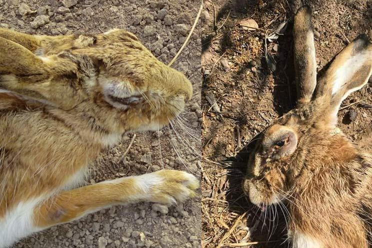 Dos liebres encontradas en Córdoba y afectadas por la enfermedad que se está estudiando. /Facebook