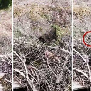 Extraordinarias imágenes de un lince dando caza a un conejo en Jaén