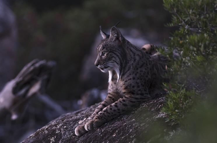Estas son las 5 principales amenazas del lince en la actualidad –y no, ninguna de ellas es la caza–
