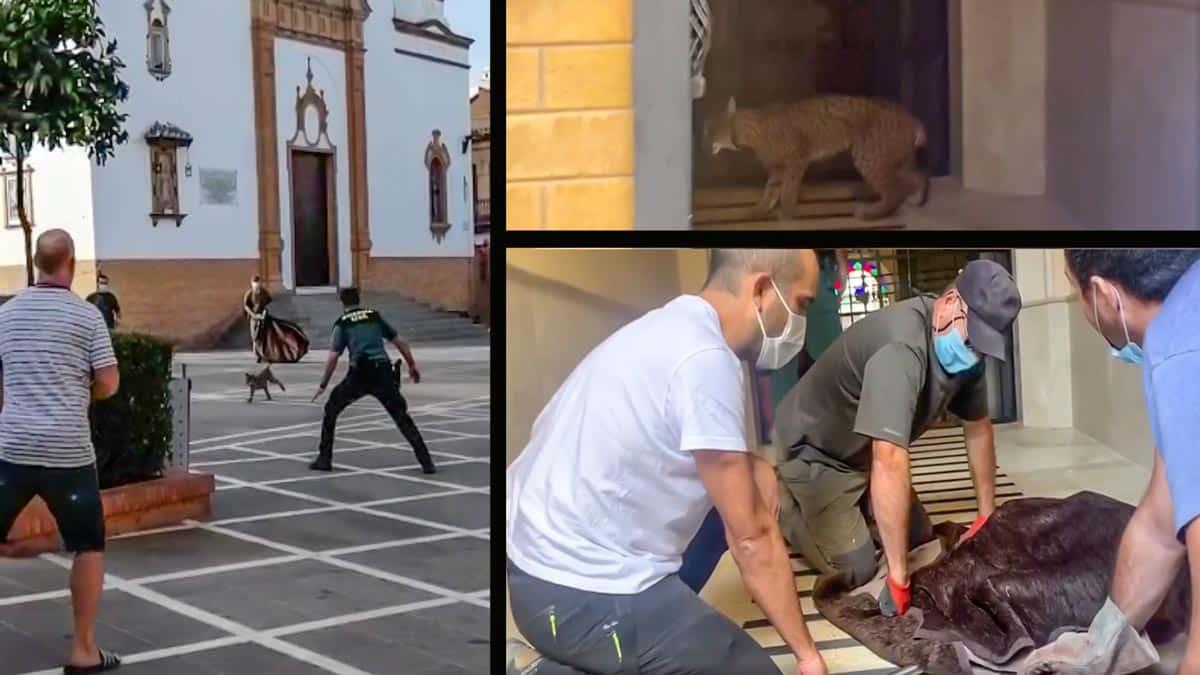 Capturan a un lince tras meterse en una casa de un pueblo de Huelva