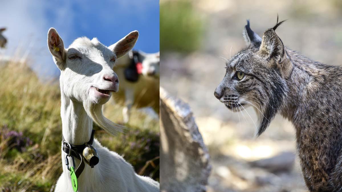 Dos mastines persiguen a un lince que acechaba un rebaño de cabras en Sevilla