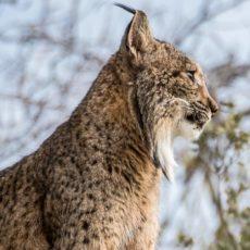Los cazadores seguirán trabajando en la conservación del lince ibérico