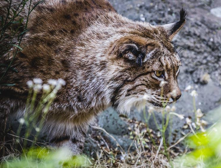 Europa cierra el grifo a los ecologistas con las subvenciones del lince