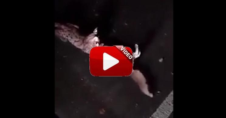 Un lince mata salvajamente a un zorro
