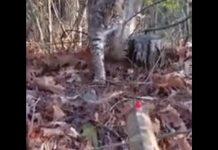 lince olfatea escopeta cazador